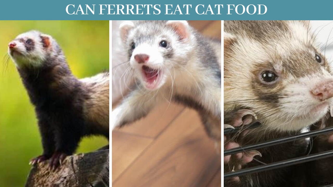 Best 10 Ferrets Facts, Can ferrets eat cat food - Zoological World