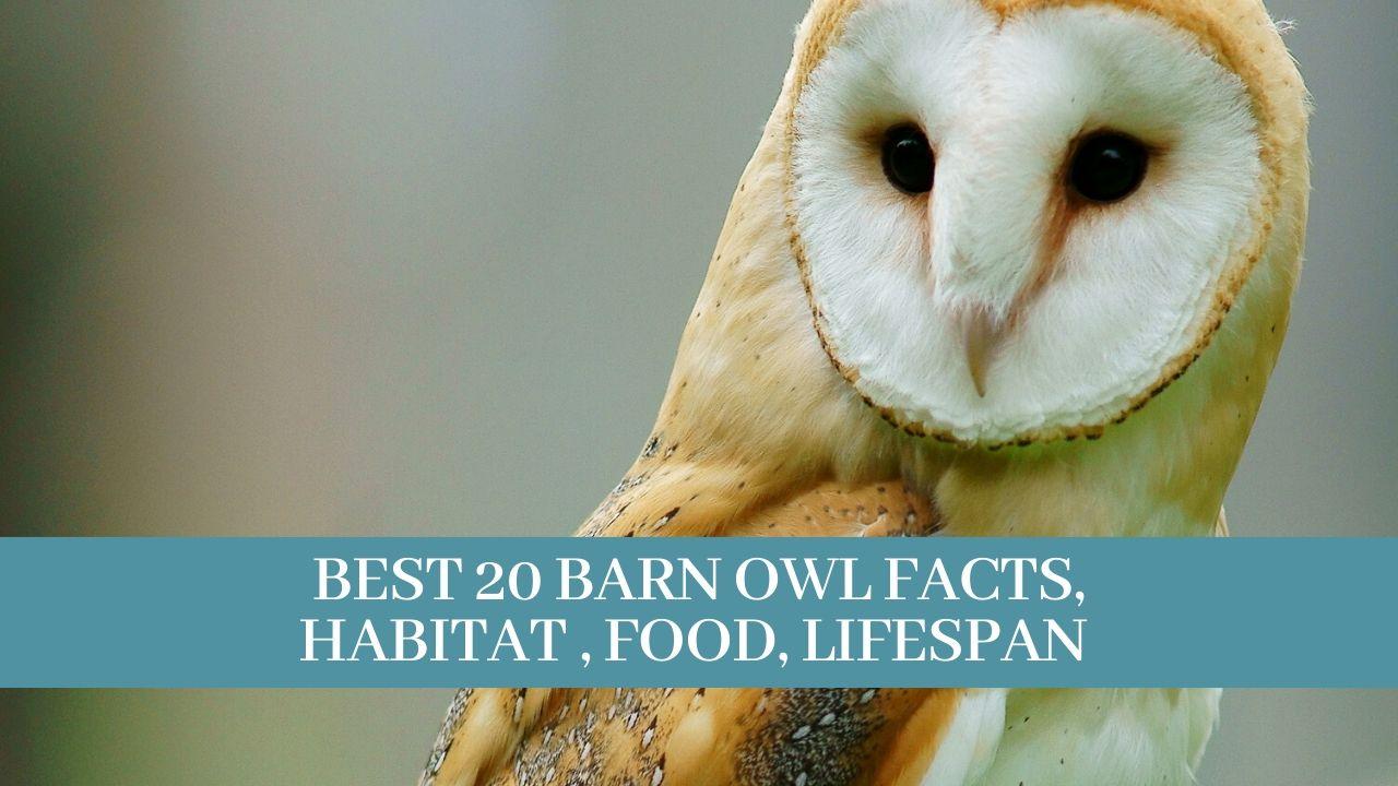 Best 20 Barn owl facts, habitat , food, lifespan ...