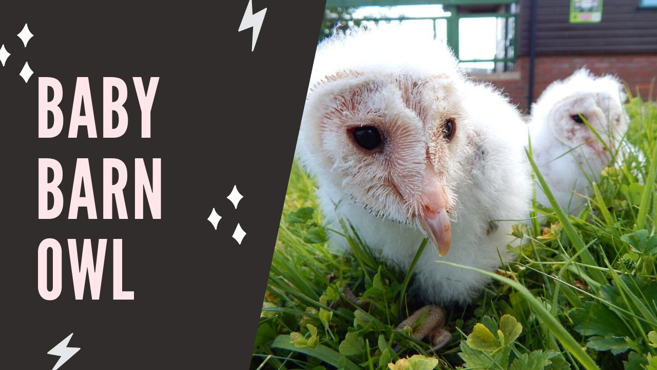 Best 10 Baby Barn Owl Facts - Zoological World
