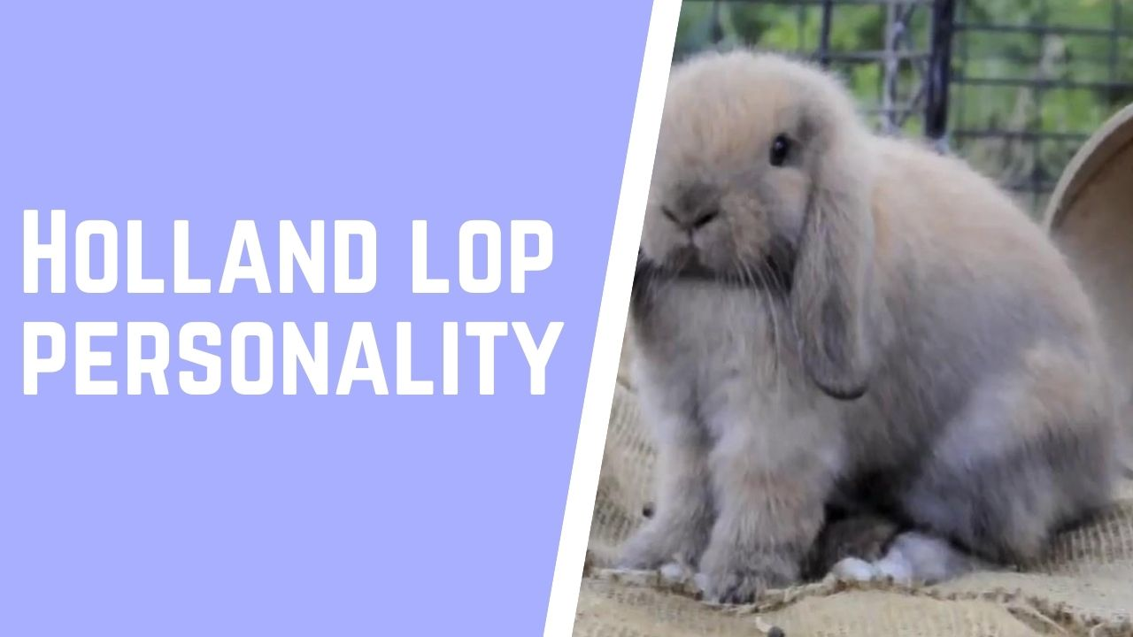 Best 18 Holland lop personality facts   Zoological World